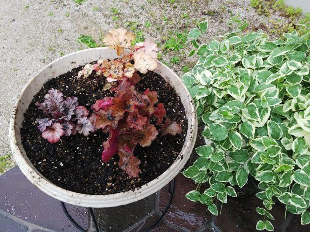植え付けられたヒューケラとツルニチニチソウ