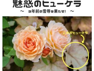 ピンクのバラとヒューケラ